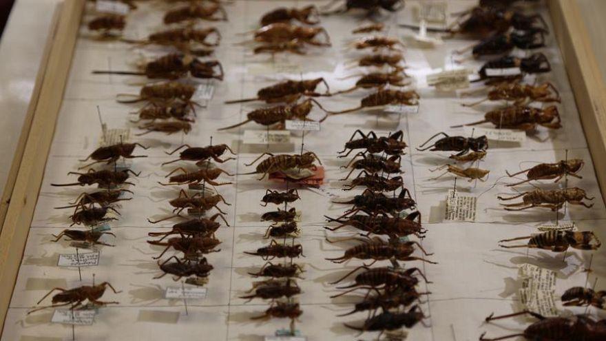 Video | Mekke'yi çekirgeler ve hamam böcekleri bastı