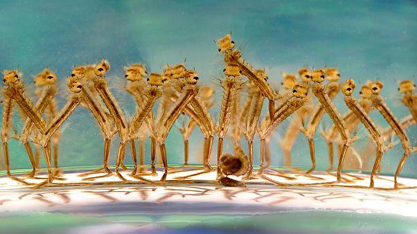 Her yıl bir milyon ölüme neden olan sivrisinekler için 'doğum kontrol' yöntemi