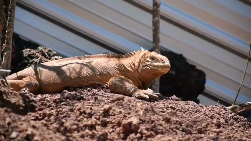 Las iguanas emprenden el viaje de vuelta a 'casa'