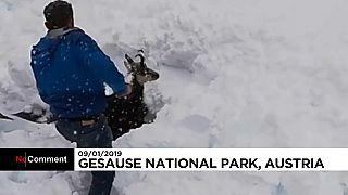 Sauvetage in extremis d'un chamois en Autriche