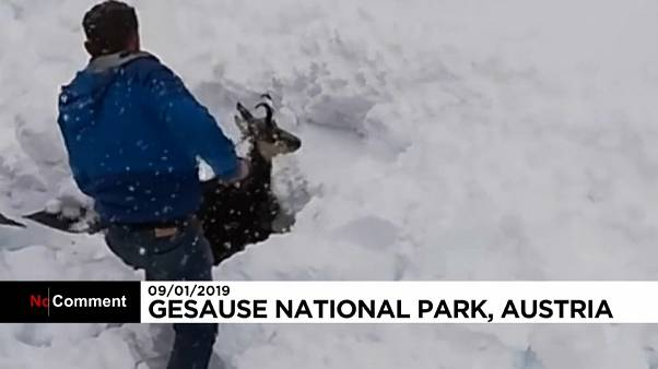 شاهد: كيف كُتبت النجاة لماعز الجبل طمرته الثلوج في النمسا