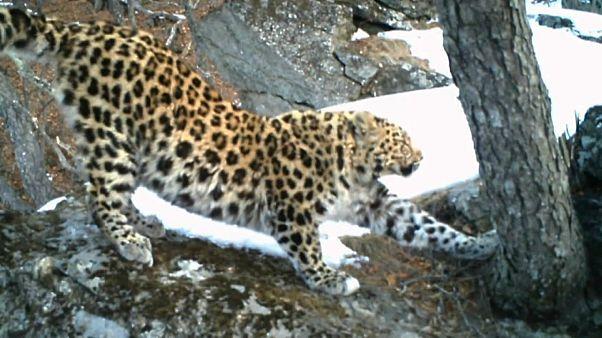 I leopardi dell'Amur tornano a riprodursi