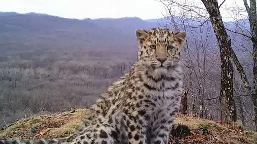 El leopardo del Amur, en peligro crítico de extinción, triplica su población en Rusia