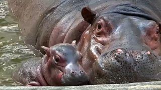 Un zoo de La India presenta a su nuevo bebé hipopótamo