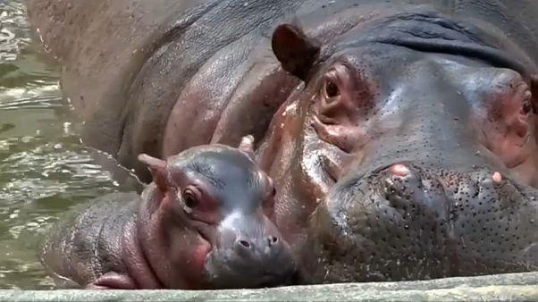 شاهد: حديقة حيوانات في الهند ترحب بمولود جديد لفرس النهر