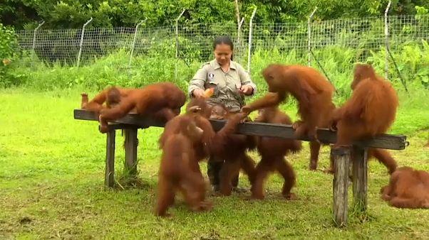 شاهد: في محمية بورنيو...البشر يعلمون صغار القردة طريقة العيش في الأدغال
