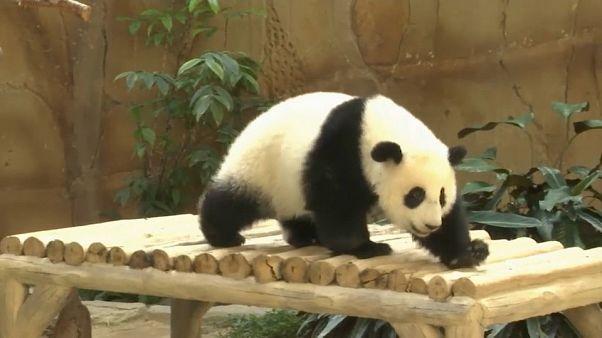 Гигантская панда отметила день рождения