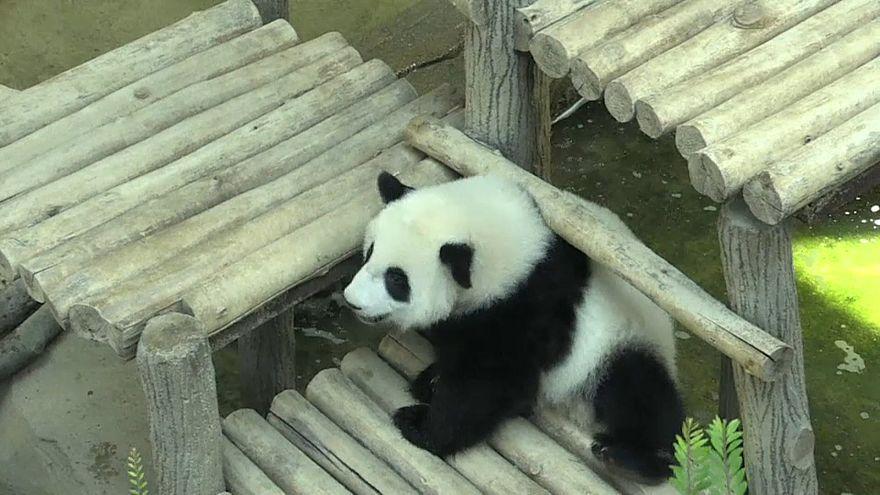 Panda feiert Geburtstag mit Eistorte