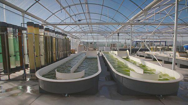 Ученые ЕС разобрали водоросли