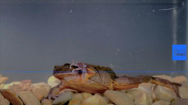 """Romeo the """"loneliest"""" frog is no longer alone"""