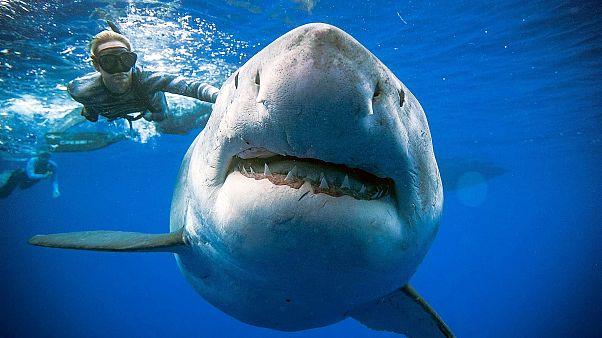 Κολυμπώντας πλάι σε έναν γιγαντιαίο λευκό καρχαρία