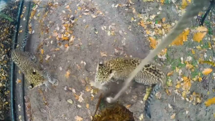 Leopard cubs excited by old rope in Dutch zoo