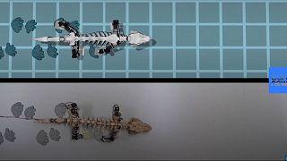 Ученые создали робота, симулирующего походку древнего животного