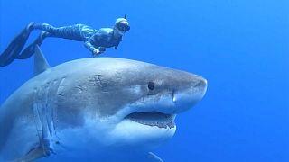 Dalgıçlar, zararsız olduklarını ispatlamak için köpek balıklarıyla yüzdü