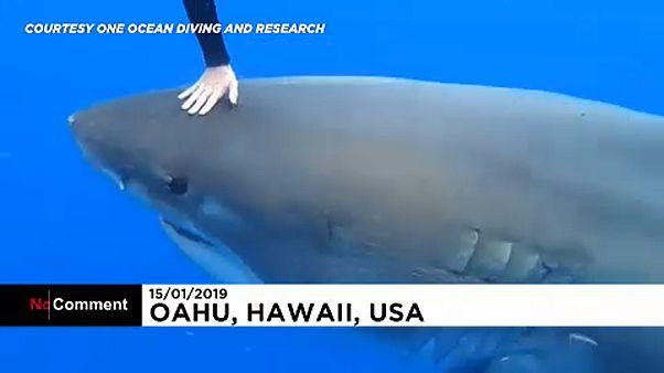 Filman a un gigantesco tiburón blanco en aguas de Hawái