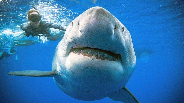 شاهد: سمكة قرش عملاقة تسبح مع غواصين في جزيرة أواهو الأمريكية