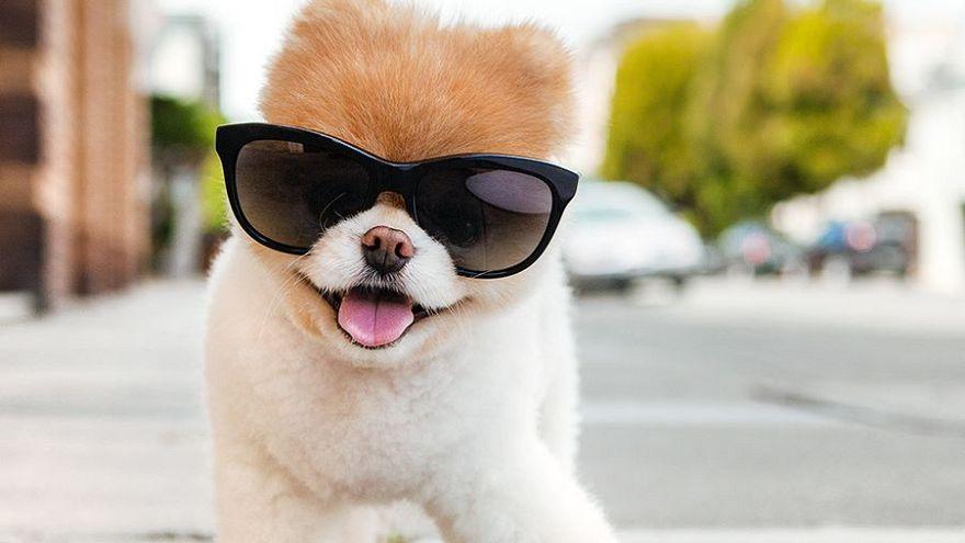Boo >> Dunyanin En Sevimli Kopegi Boo The Pomeranian Dan Aci Haber Euronews