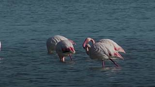 Greater Flamingos flock to Cyprus to feast on shrimp