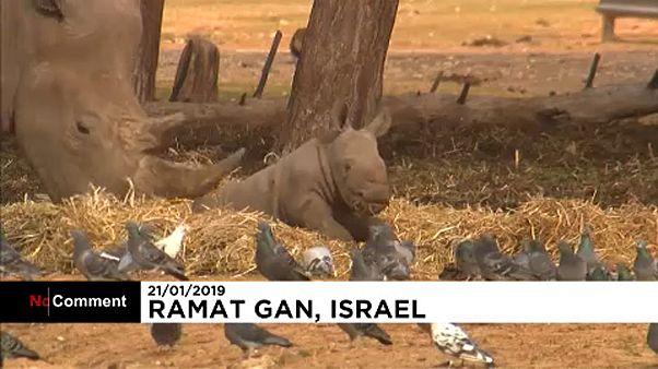 A newborn female rhinoceros joins Israel's Safari Zoo
