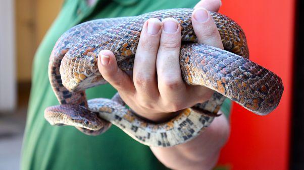 Amerikalı bilim adamları, yılan midesi içinde yaşayan yeni bir tür yılan keşfetti
