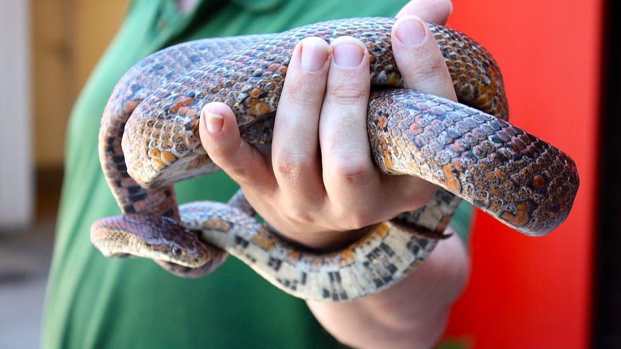 Susuz kalan yılan Avustralyalı kadını klozette ısırdı