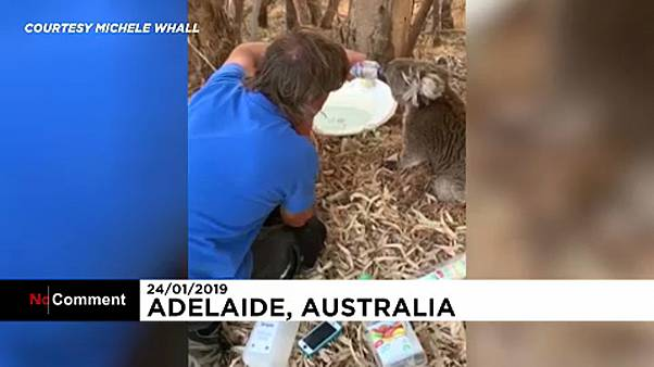 شاهد: في ظل موجة الحر الشديدة أسترالي يعتني بكوالا عطشى