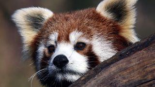 Panda-monium over! Rare Red Panda found and returning to Belfast Zoo