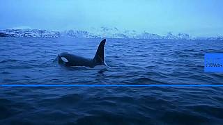Climate change forces killer whales further north to feed