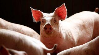 ارتفاع عدد الوفيات بسبب حمى الخنازير في المغرب إلى 11 شخصا