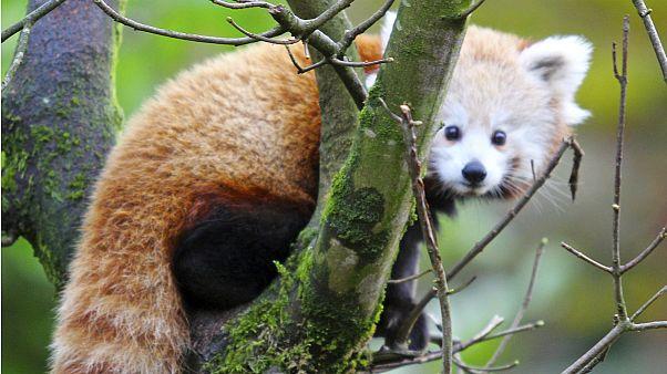 پاندای نادر پس از فرار از باغ وحش ایرلند شمالی پیدا شد