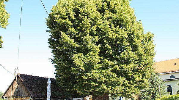 Φλαμουριά 500 ετών διεκδικεί τον τίτλο του «Ευρωπαϊκού Δέντρου 2019»