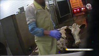 В Польше забивают больных коров
