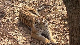 Тигр уедет, козёл останется