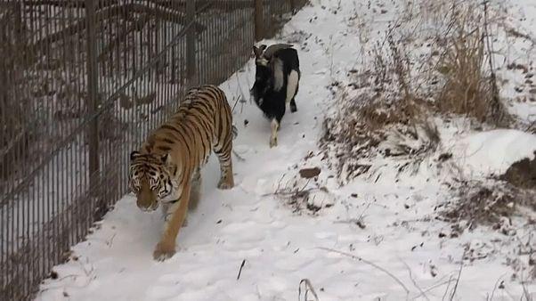 Tiger und Ziege: Freundschafts-Aus?