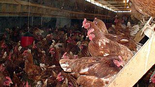 2 milyon kanatlı açlıktan ölmekten kurtuldu: Konkordato ilan eden firmaya yem desteği
