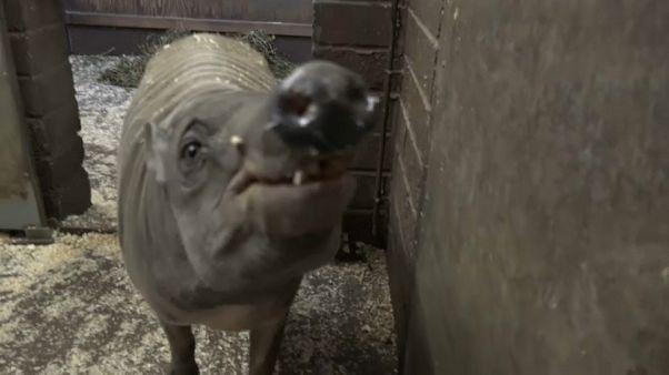 تعرف على أندر خنزير في العالم