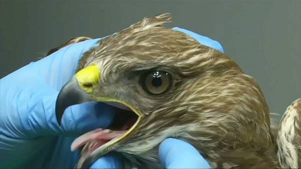 Sérült madarakat gyógyítanak Varsóban