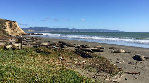 Die Herde Seeelefanten am Drakes Beach, Kalifornien.