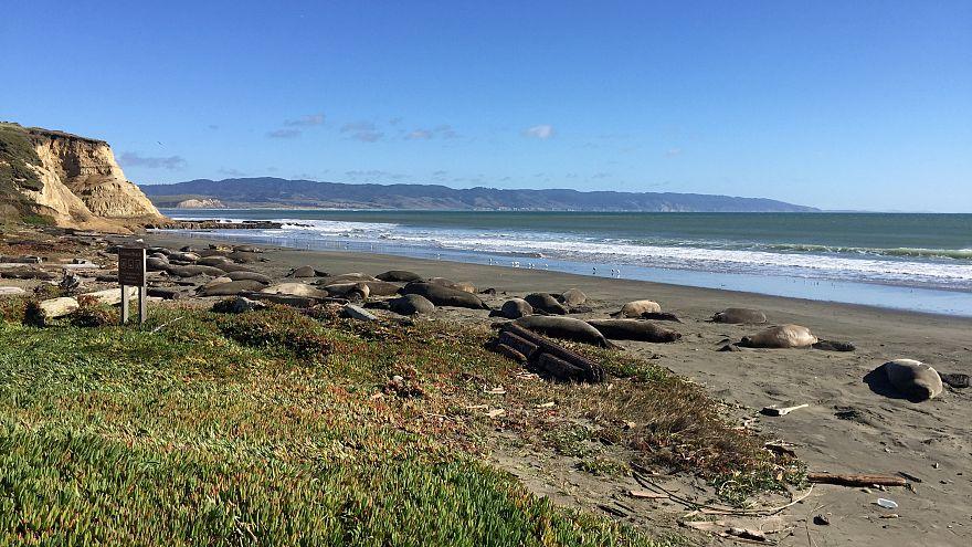 """Морские слоны """"захватили"""" популярный пляж за время """"шатдауна"""""""