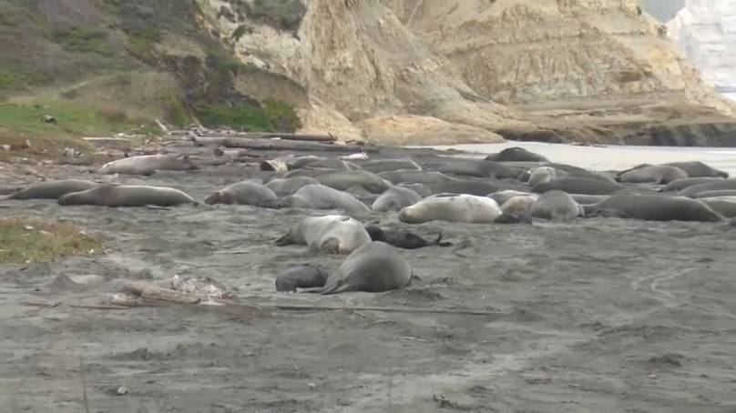California beach taken over by elephant seals and their 35 pups