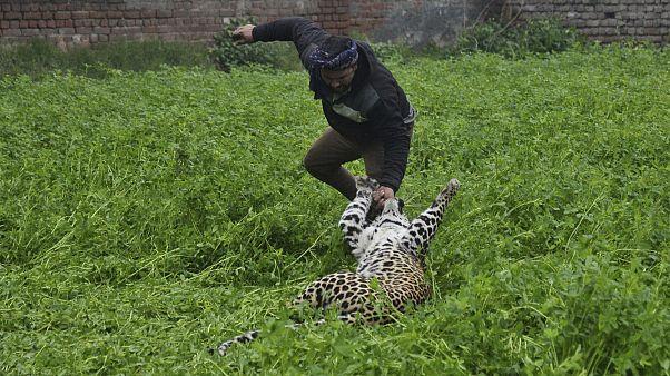 الفهد أثناء مهاجمته أحد القرويين