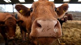 'Trash cows': Farm animals swallow metal and plastic waste
