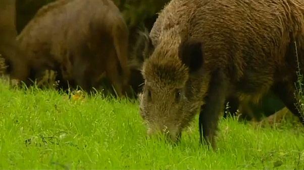 مخاوف من نقل ذكور الخنازير البرية البلجيكية فيروسا عبر الحدود مع فرنسا