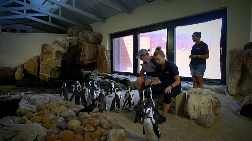 A penguin sperm bank has been set up in South Africa to tackle their severe decline in numbers