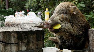 Wildschweine erobern Hongkong