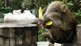 Túl sok a vaddisznó Hongkongban