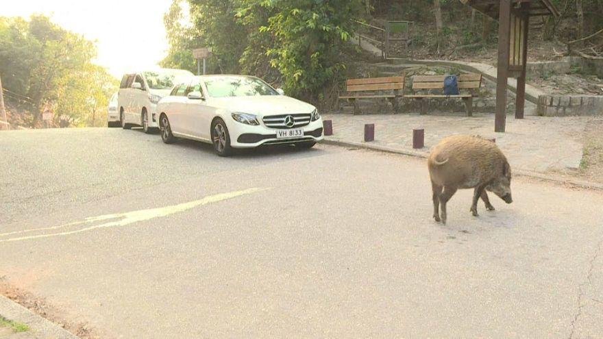 Nouvel An chinois : à Hong Kong, le cochon dérange
