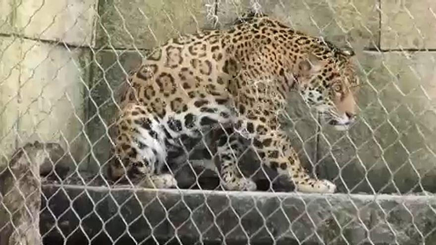 Új kifutót kapott a New Orleans-i állatkertben a fél éve megszökött jaguár
