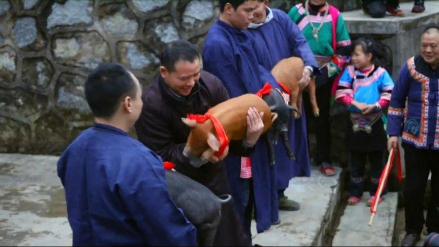 برگزاری جشن سال جدید در چین با مسابقه بین خوکها