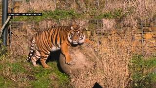 """مقتل أنثى نمر سومطرة بأنياب """"زميلها"""" في حديقة حيوانات لندن"""